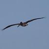 Brown Pelican at Bolsa Chica Reserve - 15 Oct 2011