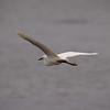Snowy Egret at Bolsa Chica Reserve - 4 July 2012