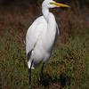 Great Egret at Bolsa Chica Reserve - 26 Nov 2011