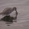 Willet fishing at Bolsa Chica Reserve - 2 Sept 2013