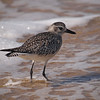 Black-Bellied Plover at Crystal Cove - 1 Oct 2011