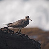 Wandering Tattler at Crystal Cove - 1 Oct 2011