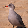 Heermann's Gull at Crystal Cove - 1 Oct 2011