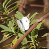 Cabbage White (male) at Crystal Cove - 1 Oct 2011
