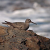 Willet at Crystal Cove - 1 Oct 2011