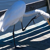Great White Heron, Oceanside Marine Study Center