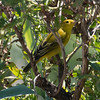 Yellow Warbler, Oceanside Marine Study Center