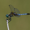 Blue Dasher, Oceanside Marine Study Center