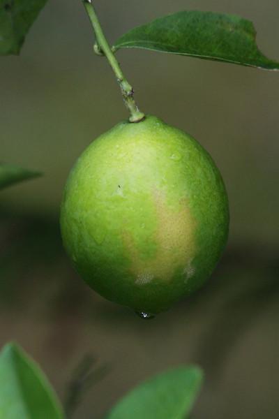 """November 5, 2010 """"Lemon"""""""
