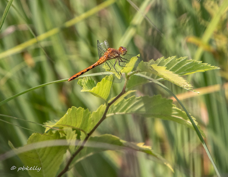 Slightly battered Ruby Meadowhawk, 072619, Crook Street Wetlands.