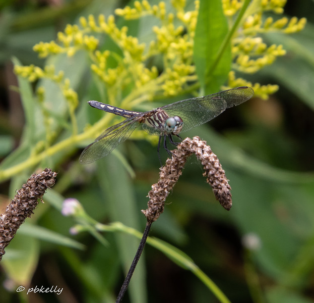 Lateral view of a Blue Dasher female.  Grafton Ohio,  9/01/19.