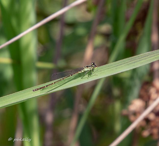 Fragile Forktail, Ishnura posita male.  08/14/19 Crook Street Wetlands.