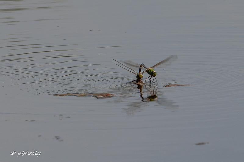 Common Green Darners ovipositing.  Crook Street Wetlands, 052919.