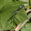 Blue-fronted Dancer male, Argia epicalis.  07/25, Columbia Station