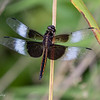 Mature Widow Skimmer.  7/06/19.  Grafton Ohio.