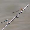 Twig being shared by a Skimming Bluet male, Enallagma geminatum, and an Orange Bluet, Enallagma signatum.  Royal Oaks, 071419.