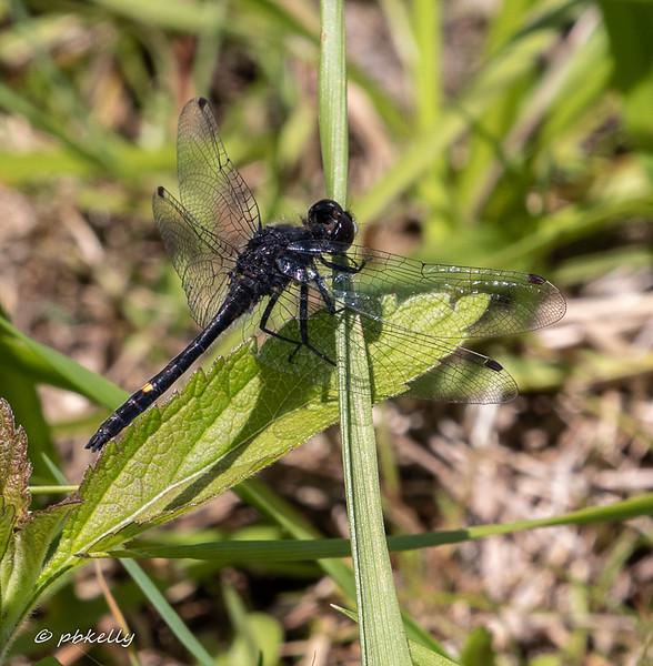 Dot-tail Whiteface male, Leuchorrhina intacta.  Crook Street Wetlands, 060319.