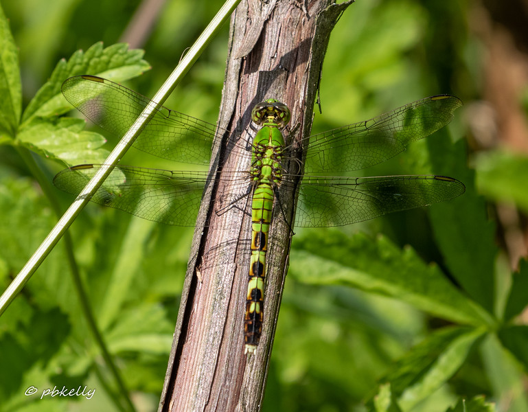 Female Eastern Pondhawk.  Very different looking from the male.  Carlisle Reservation , 08/04/19.