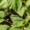 052519.  Ebony Jewelwing, Calopteryx maculata, one of my favorites.