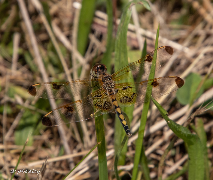 Female Calico Pennant, Celethemis elisa,  072419.  Crook Street Wetlands.  This species got scarce for a few years locally, but seems to be on a comeback.