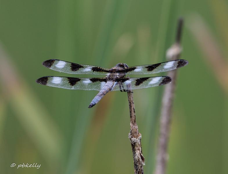 070619 Twelve Spot Skimmer, Libellula pulchella, Crook Street Wetlands.