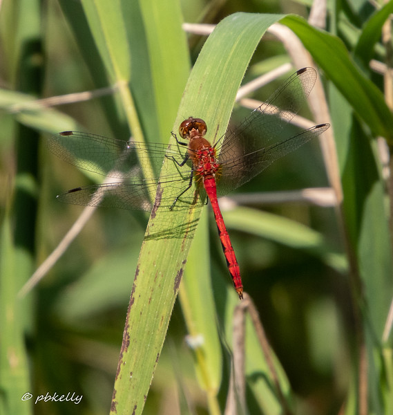 Ruby Meadowhawk, dorsal view.  072619, Crook Street Wetlands.