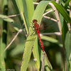 Ruby Meadowhawk, dorsal view.  072619, Crook Street Wetlands.