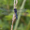 Dorsal view of a Slaty Skimmer,   07/04/19, Grafton Ohio.