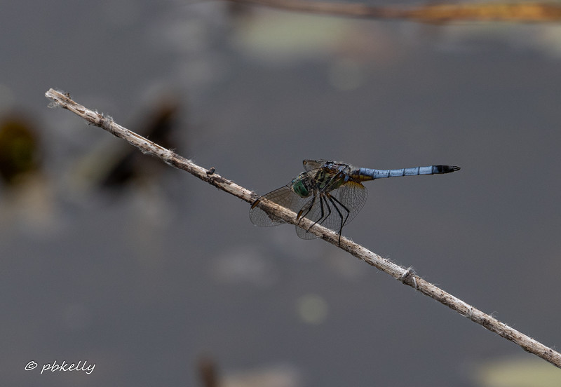 Another view of a male Blue Dasher.  7/19/19, Grafton Ohio