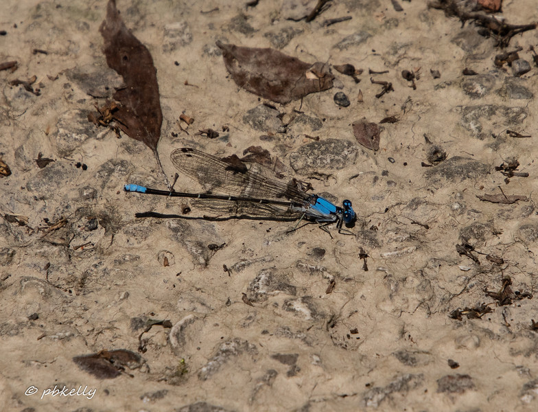 Blue-fronted Dancer male, Argia epicalis. 07/10/19, Columbia Station.