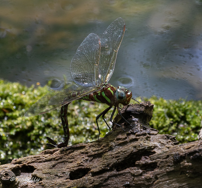 Swamp Darner laying its eggs in a rotten log.  It bores into the soft places to oviposit.  Carlisle,  060719.