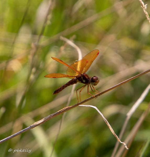Eastern Amberwing male, Perithemis tenera.  072819, Royal Oaks.