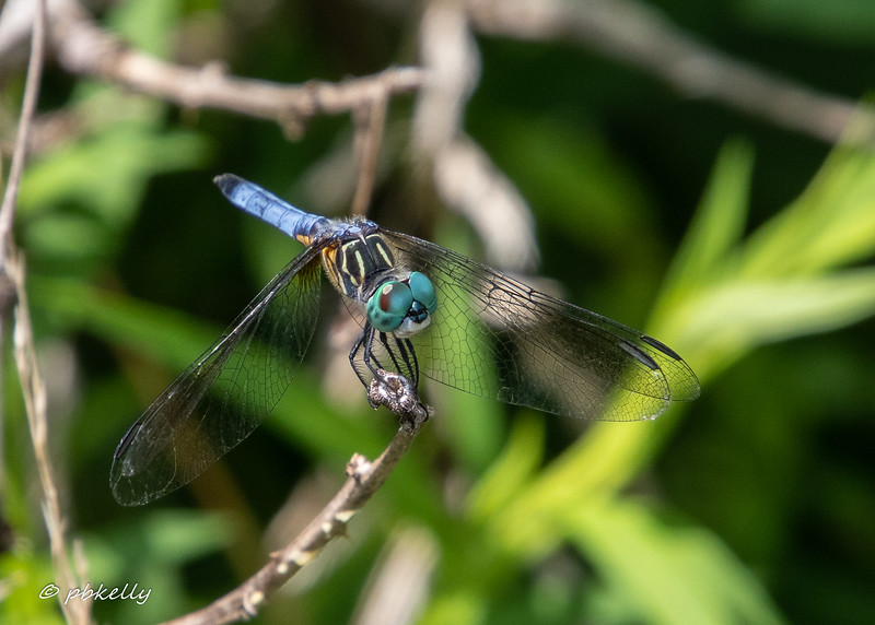 Blue Dasher, Pachidyplax longipenis. 7/24/19 , Grafton Ohio.  One of the most common  and wonderfully beautiful of the local dragons.  This is a male in pretty good condition.