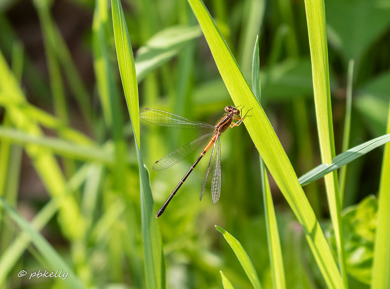 Eastern Forktail female, Ishnura verticalis, holding her wings in an uncharacteristic position.  Crook Street Wetlands, 052519.