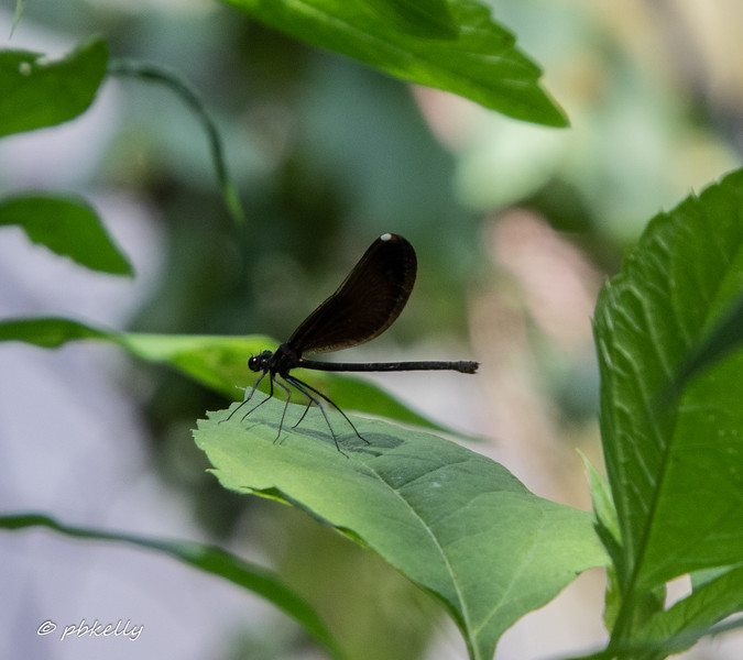 Ebony Jewelwing female, Calopteryx maculata.  The male is far more spectacular looking, but somehow I didn't get a got image of one in 2019.  071019, Columbia Station.