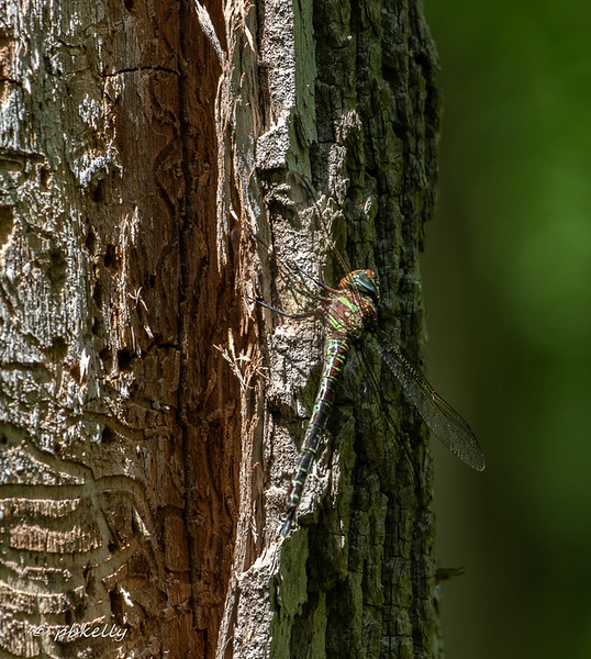 Swamp Darner, Epiaeschna heros, trying for camouflage on old tree.  060919, Carlisle Reservation.