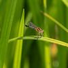 Eastern Forktail, Ishnura verticalis female.  Crook Street Wetlands, 051819.
