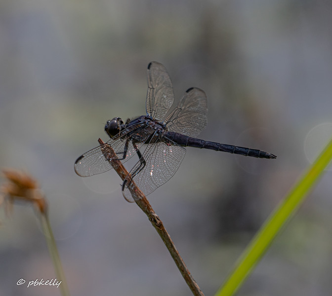 Slaty Skimmer, Libellula incesta.  They used  to be rare in Lorain County but have become common, and in their habitats, one of the dominant species.  7/19/19 ,  Grafton Ohio