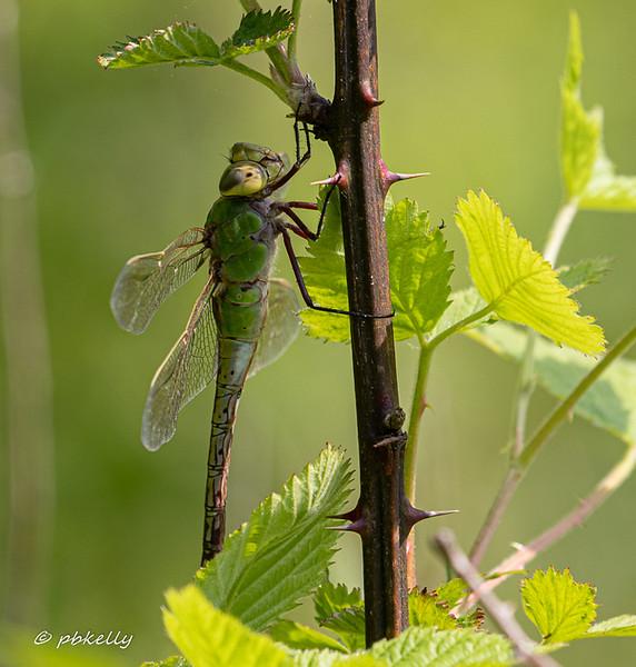 Common Green Darner, Anax junius.  A rare resting shot.  Crook Street Wetlands, 052519.
