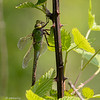 Common Green Darner, Anax junius.  A rare resting shot.  Crook Street Wetlands, 052519.