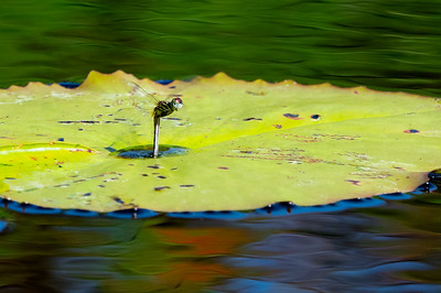 A female blue dasher dragonfly laying eggs. She deposits her eggs in the water at the center of a lily pad where the stem is attached.