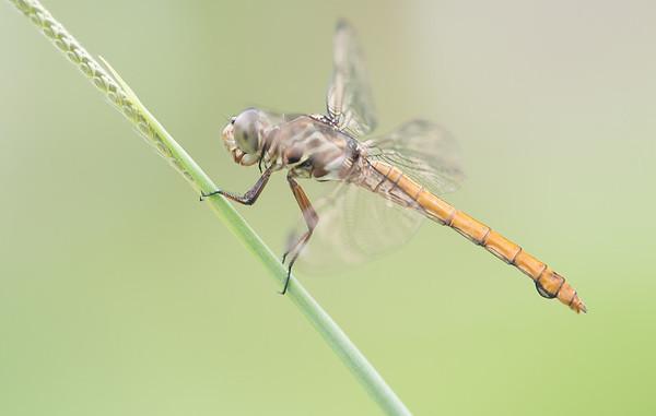 Female Roseate Skimmer (Orthemis ferruginea)