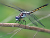 Immature Male Great Blue Skimmer (Libellula vibrans)