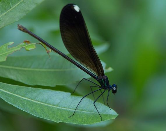 Female Ebony Jewelwing Damselfly (Calopteryx maculata)