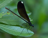 Female Ebony Jewelwing Damselfly (Calopteryx maculata)