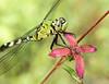 Green Pondhawk on Seaside Primrose-Willow