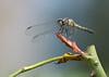 Female Blue Dasher Dragonfly
