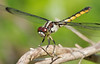 Great Blue Skimmer (female) (Libellula vibrans)