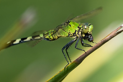 Female Eastern  Pondhawk Dragonfly with Prey (a green bottle fly)