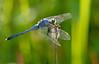 Blue Pondhawk